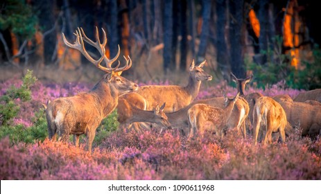 Male red deer (Cervus elaphus) guarding his flock of deer in heathland during mating season on the Hoge Veluwe, Netherlands