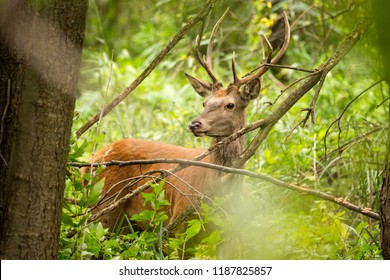 Male Red Deer (Cervus elaphus) in a dense forest