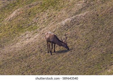 male red deer (Cervus elaphus) grazing in winter