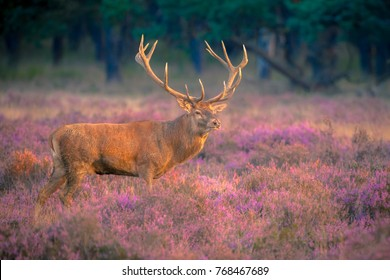 Male red deer (Cervus elaphus) with huge antlers during mating season on the Hoge Veluwe, Netherlands