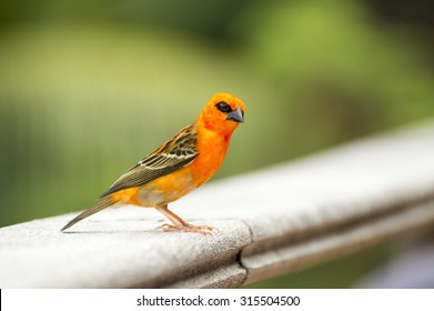 Male red fody, Foudia madagascariensis, Seychelles and Madagascar bird