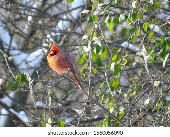 Male Red north american cardinal perched on branches in winter with a few green leaves remaining