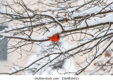 Male red northern cardinal, Cardinalis, bird distant perching on tree branch during winter snow in Virginia with blurry background of house exterior