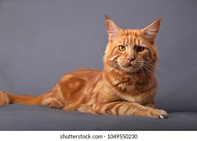 Male red solid maine coon cat lying with beautiful brushes on the ears on grey background. Closeup portrait.