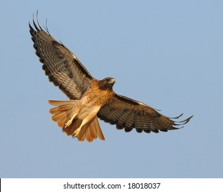 A Male Red Tail Hawk Begins To Soar Above Field In Southern California Searching For
