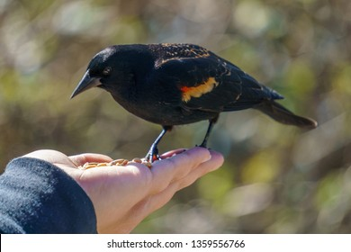 Male Red winged Blackbird (Agelaius phoeniceu) sitting on woman's hand and eating seeds, British Columbia, Canada.