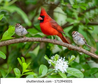 Male Redbird and Chipping Sparrows Perched in Chinese Fringe Tree in Bloom