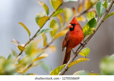 Male Redbird Perched in Colorful Chinese Fringe Tree During Louisiana Winter