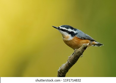 Male Red-breasted Nuthatch (Sitta canadensis) perched on a dead branch - Ontario, Canada
