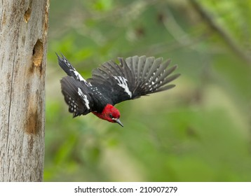 A male red-breasted sapsucker flies from its nest cavity after having fed it young.