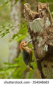 Male of  Red-crowned Woodpecker Melanerpes rubricapillus excavating nest-hole  on old trunk. Typical rain forest environment. Colorful green and yellow blurred background. Tobago.