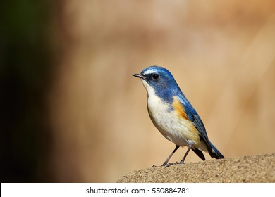 Male of Red-flanked bluetail