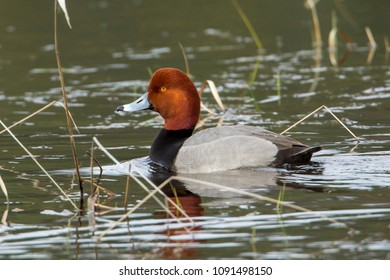 Male redhead duck (Aythya americana) swimming in Hauser Lake.