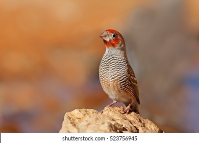 Male red-headed finch (Amadina erythrocephala) sitting on a rock, South Africa