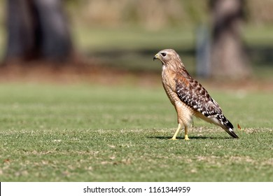 Male Red-shouldered Hawk