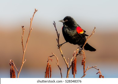 Male Red-winged black bird (Agelaius phoeniceus) perched on a branch.