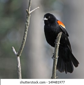 A male Red-winged Blackbird (Agelaius phoeniceus) perched on a dead branch. Shot in Cambridge, Ontario, Canada.