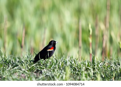 Male Red-winged Blackbird on a grassy rise in the marsh at Alamosa National Wildlife Refuge in southern Colorado