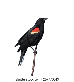 Male Red-winged Blackbird on White Background, Isolated