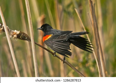 Male, Red-winged Blackbird, perched on reed, Ridgefield National Wildlife Refuge, Ridgefield, Washington, USA.