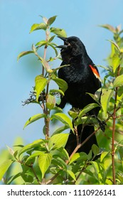 Male Red-winged Blackbird perched at the top of the tree loudly calling his territory. Colonel Samuel Smith Park, Toronto, Ontario, Canada.