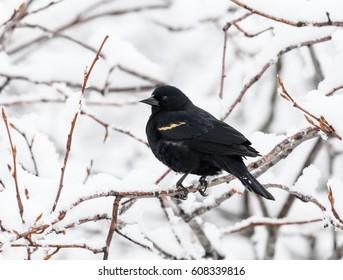 Male Red-winged Blackbird in Winter