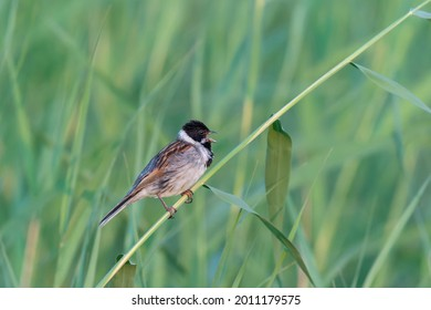 Male Reed Bunting (Emberiza schoeniclus) singing from reed stem. Gelderland in the Netherlands. Reed Bunting perched on a reed.                    - Shutterstock ID 2011179575