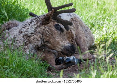 A male reindeer with dark brown velvety horns is laying in the shade among the spring grass.