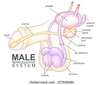 Male reproductive system stock images royalty free images vectors male reproductive system ccuart Choice Image