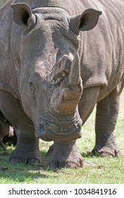 A male Rhino looking into the camera.