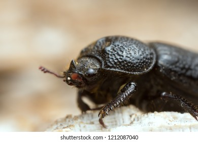 Male rhinoceros beetle, Sinodendron cylindricum on wood