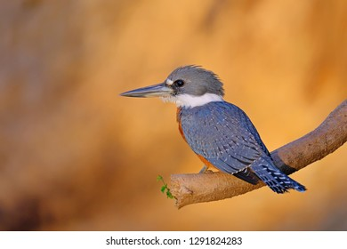 Male Ringed Kingfisher, Megaceryle Torquata, a large, conspicuous and noisy kingfisher bird, Mato Grosso, Pantanal, Brazil, South America. Also found in southern USA, Central America, South America
