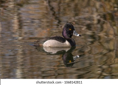 Male ring-necked duck (Aythya collaris) swimming in a pond on the first day of spring at Magnuson Park, Seattle.
