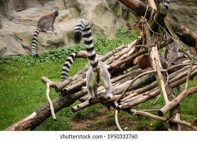 male ring-tailed lemur aimed its ass and tail at the camera. A fun photo of gray monkeys. Lemur catta commutes to leftovers. member of the Lemur genus.