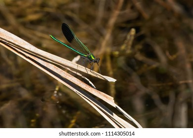 Male River Jewelwing Damselfly perched on a dead reed over the water. Carden Alvar Provincial Park, Kawartha Lakes, Ontario, Canada.