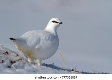 male Rock ptarmigan standing on a snow-covered slope on a cloudy winter day