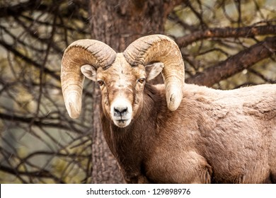 Male Rocky Mountain Bighorn Sheep Ram standing in snow flurries in front of tree face forward