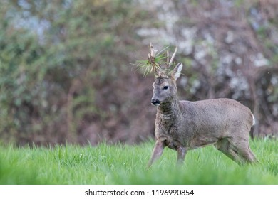Male roe deer - Capreolus capreolus - during a fight, with grass on the antlers
