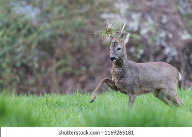 Male roe deer during a fight, leg up and grass on the antlers