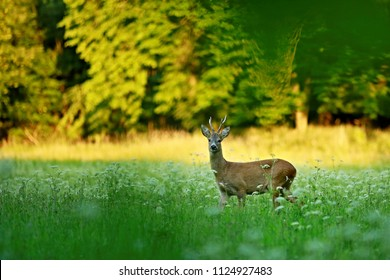 Male roe deer standing on green meadow with white flowers at dusk watching out, sunlit trees in background, blurry foreground, warm colors