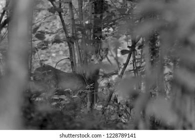 Male Roe Deer in a Wood