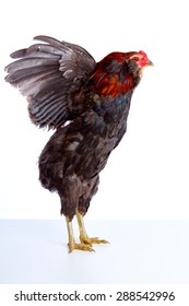 Male Rooster Araucana Easter egger breed in white background