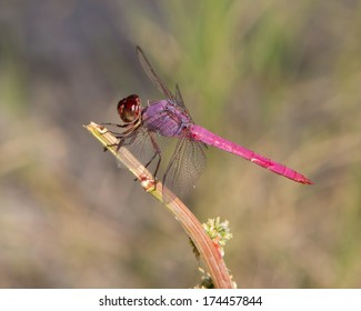 Male Roseate Skimmer (Orthemis ferruginea) perched on a broken piece of vegetation near a wetland in Uvalde County in south Texas.