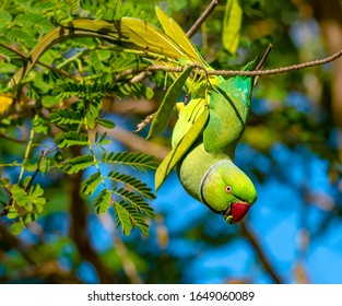 A male Rose-ringed parakeet , Psittacula krameri , eating the seed pods of a yellow Peacock flower tree , Caesalpinia lutea , while hanging upside down from a branch in sunny Honolulu Hawaii