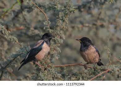 Male Rosy Starlings (Pastor roseus). The adult rosy starling is highly distinctive, with its pink body, pale orange legs and bill, and glossy black head, wings and tail.
