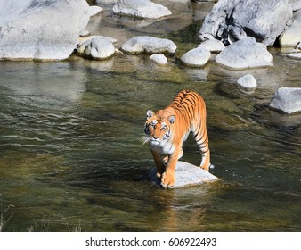 a male Royal Bengal tiger standing on rock in the midst of Stream