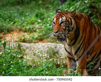 male royal bengal tiger staring towards of you from inside the jungle