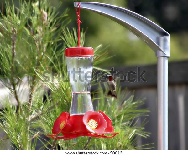 Male Ruby Throated Hummingbird (Mature)