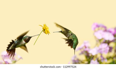 A male ruby throated hummingbird surprising a pretty female with a gift of a flower.