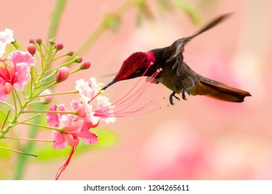 A male Ruby Topaz Hummingbird feeds on the Pride of Barbados flower.